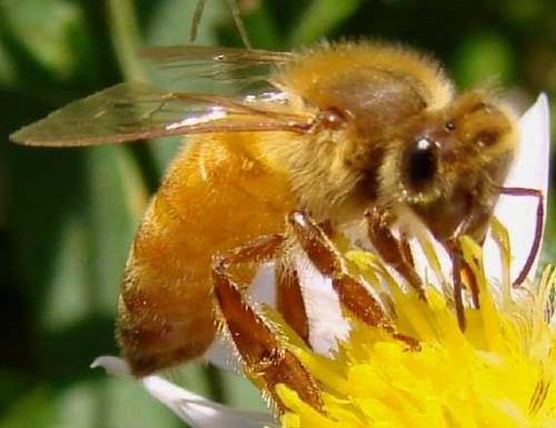 abeille jaune italienne