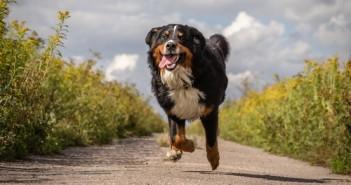 chien fugue